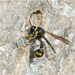 Eumenes (guêpe maçonne) posant les bases de son nid