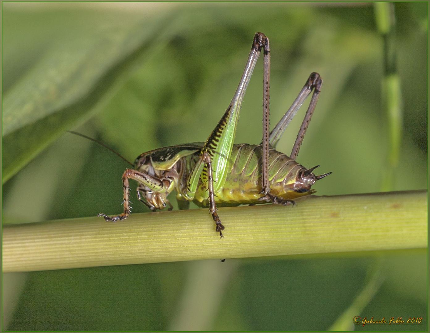 Eupholidoptera chabrieri (Charpentier, 1825)
