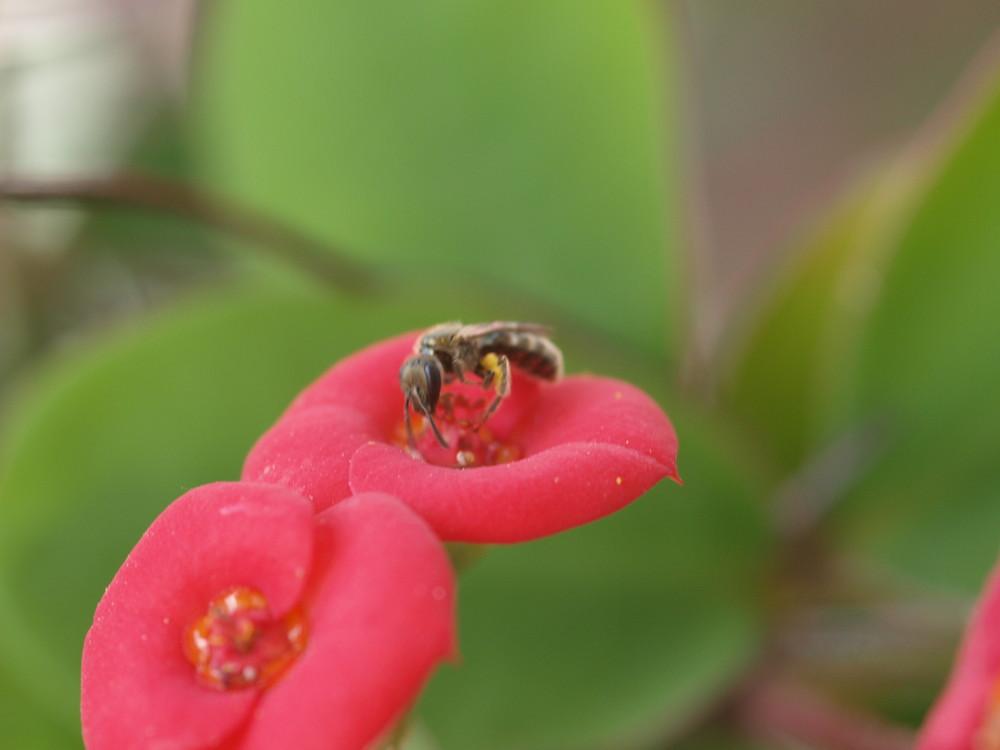 euphorbia con un amico insetto