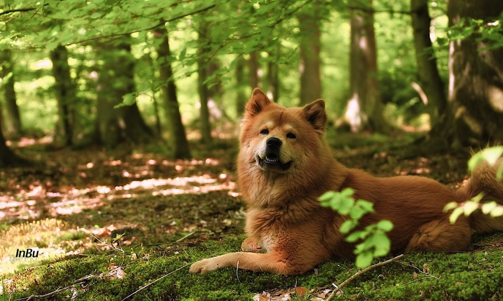 Eurasier im Wald