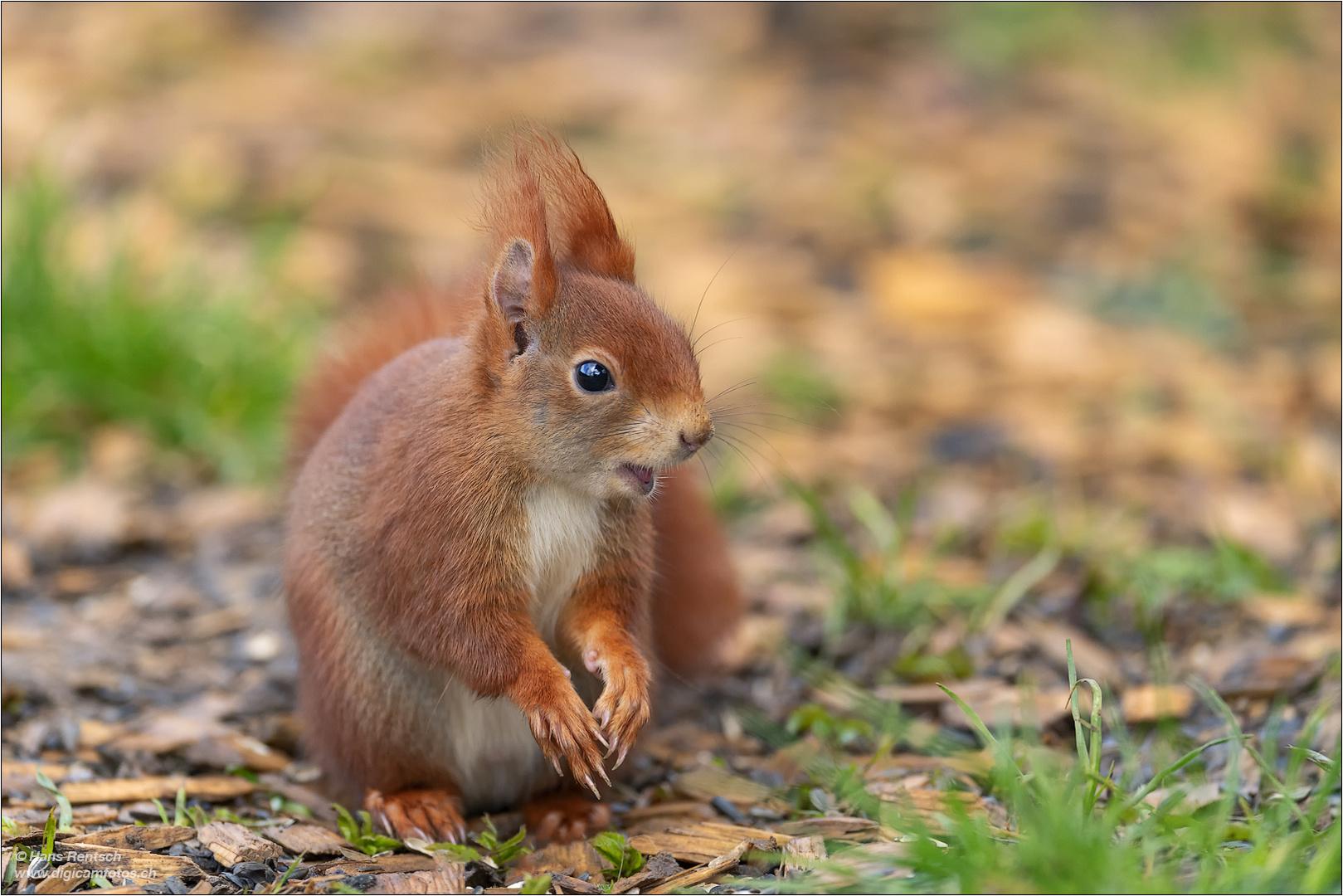 eurasisches eichhörnchen foto & bild | tiere, wildlife