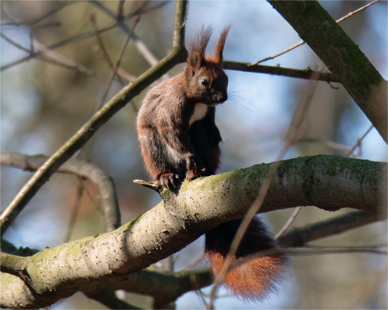 Eurasisches Eichhörnchen ( Sciurus) im Wald