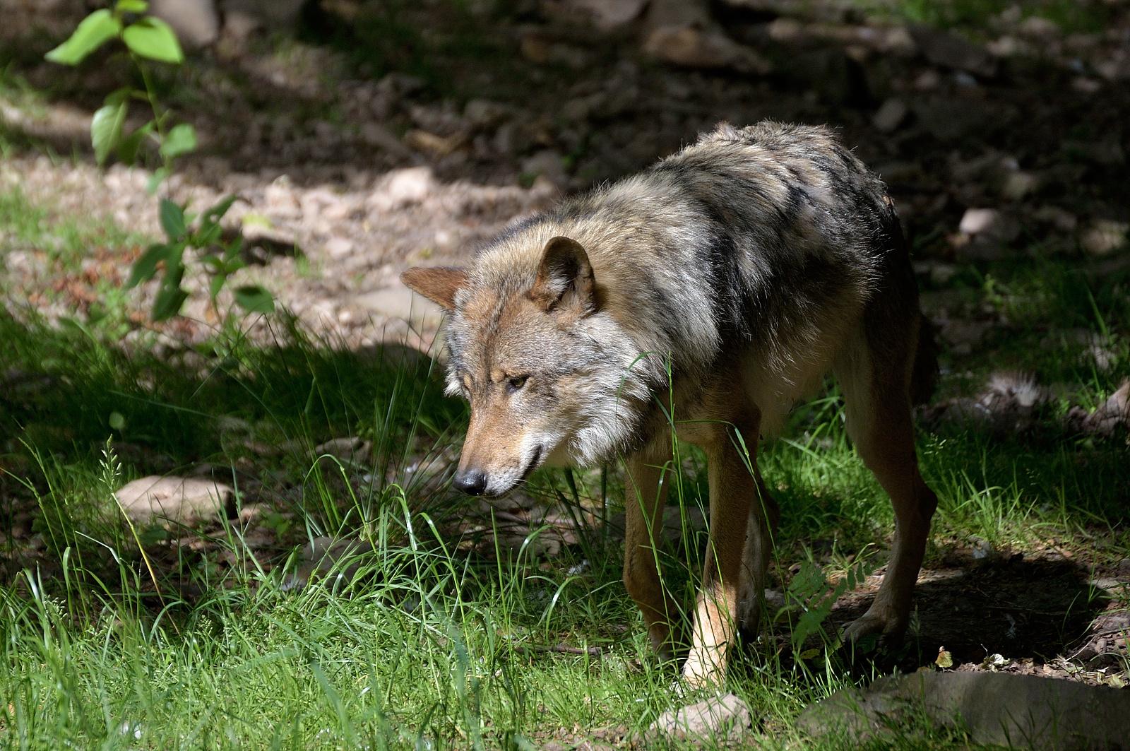 Europ. Wolf 3