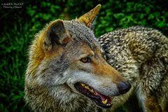 europ. Wolf