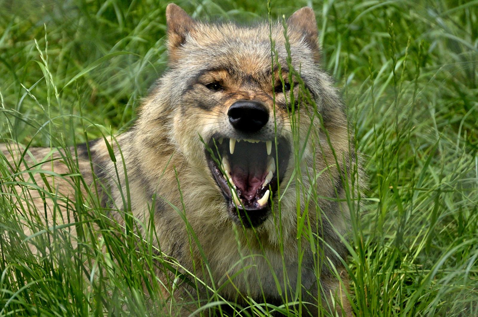 Europ. Wolf 7