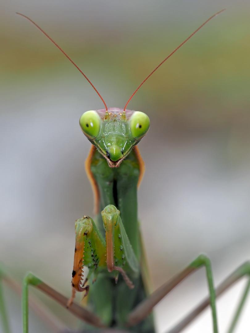 Europäische Gottesanbeterin (Mantis religiosa) beim Fliegenfang! Foto 1 - La mante religieuse.