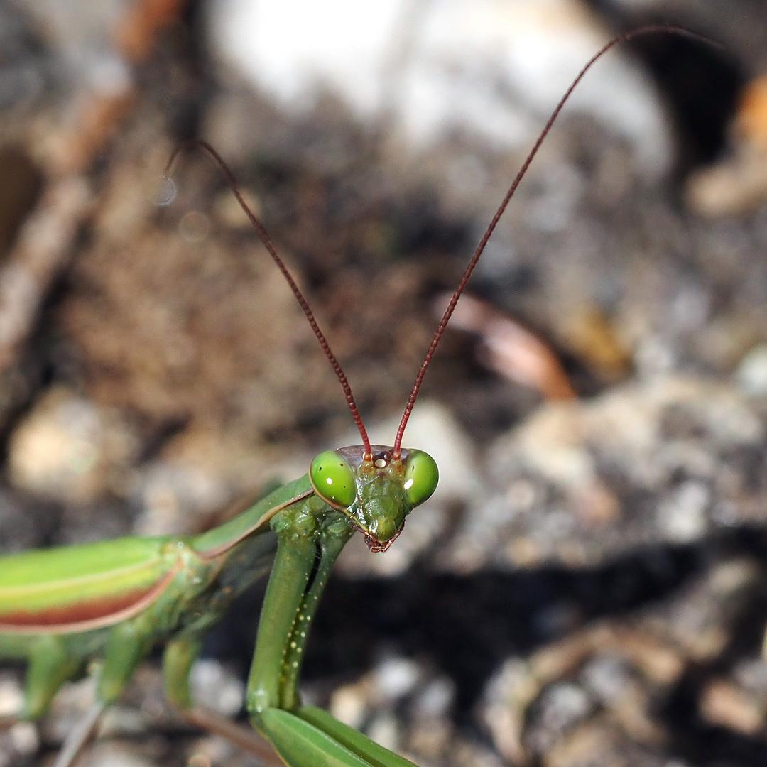 Europäische Gottesanbeterin (Mantis religiosa). - La mante religieuse.