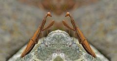 Europäische Gottesanbeterin (Mantis religiosa) - La Mante religieuse.