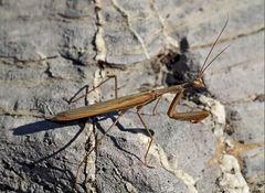 Europäische Gottesanbeterin (Mantis religiosa), Männchen. - La mante religieuse, un mâle.