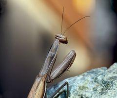 Europäische Gottesanbeterin (Mantis religiosa) - Mante religieuse