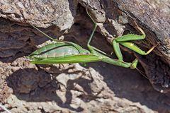 Europäische Gottesanbeterin (Mantis religiosa), Weibchen. - La mante religieuse, femelle.