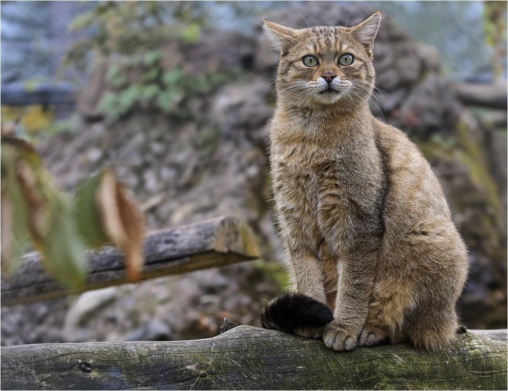 Europäische Wildkatze (5)