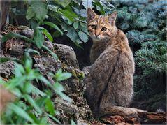 Europäische Wildkatze (7)