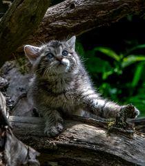 Europäische Wildkatze Junges ca. 4 Wochen