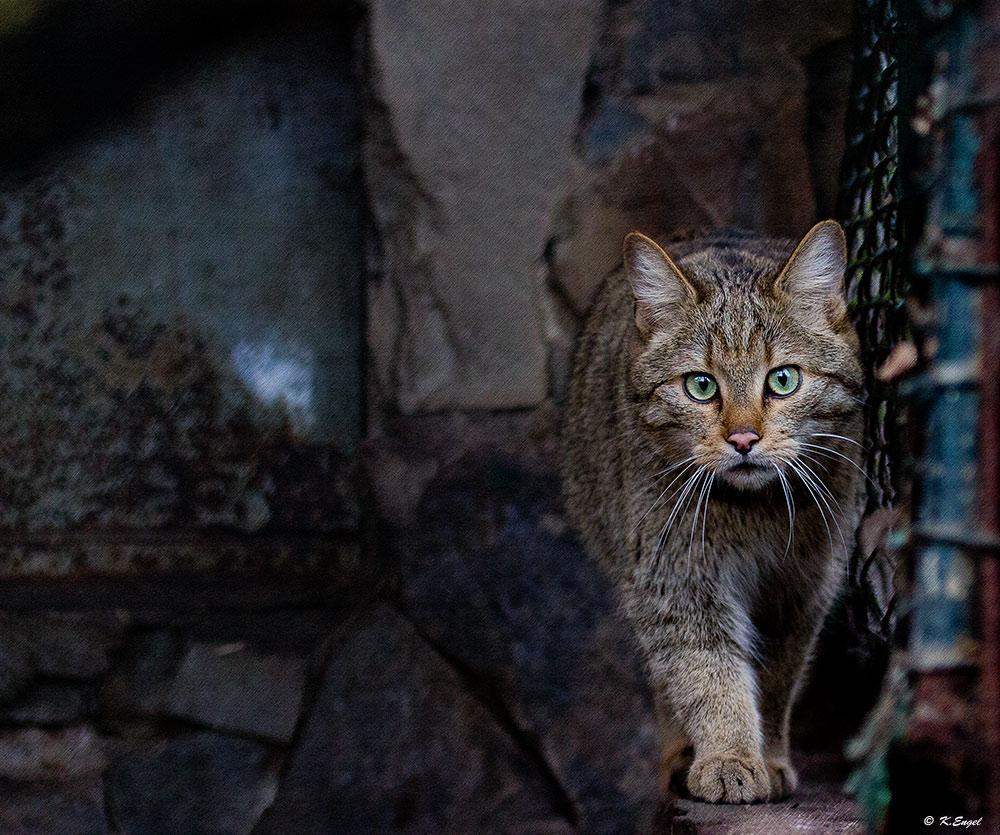 Europäische Wildkatze reloaded