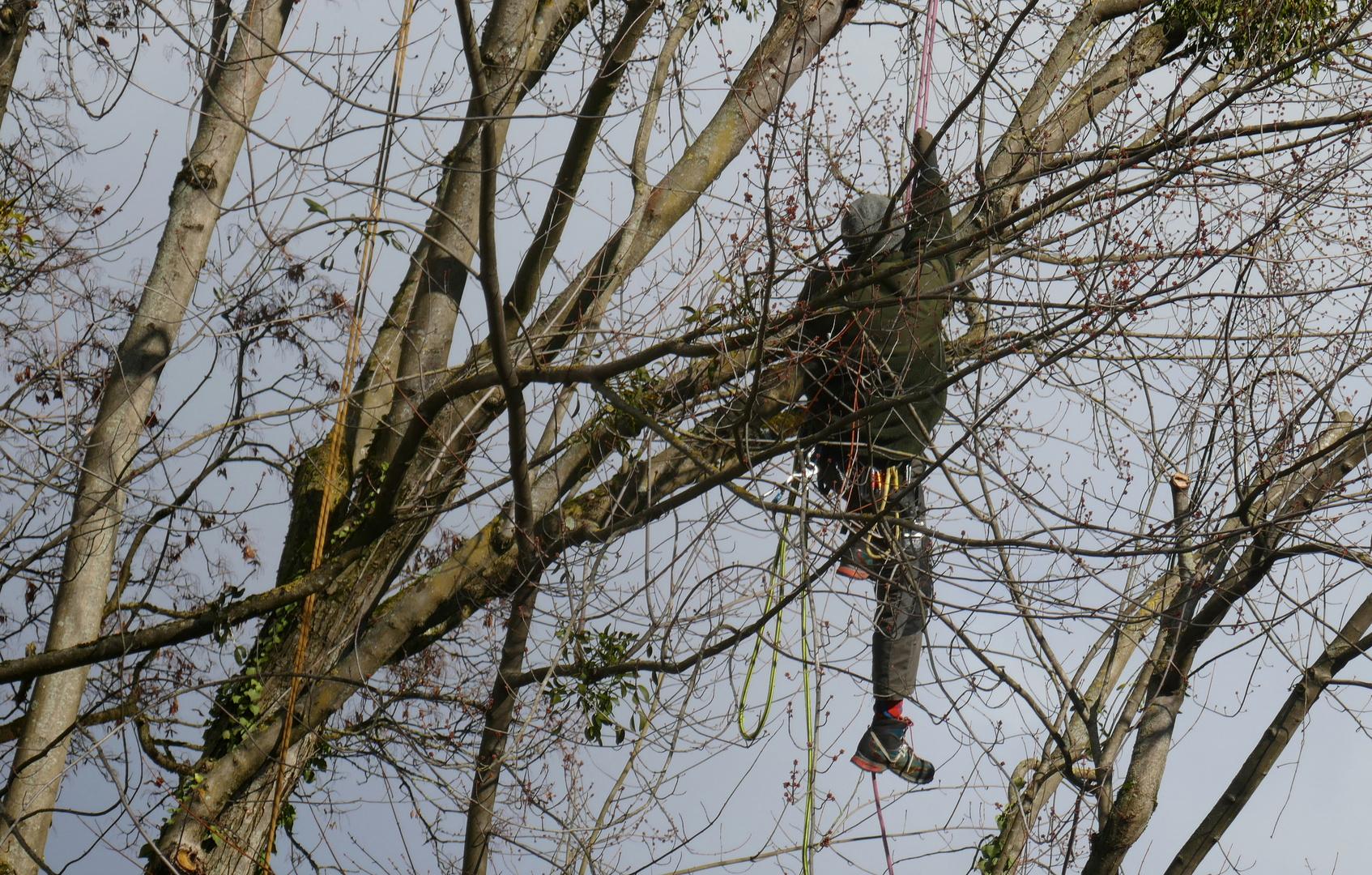 Europäischer Baumrabe, vorwiegend in der Stadt lebend, Fortpflanzung gesichert