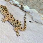 Europäischer Halbfinger, Gecko, (Hemidactylus turcicus) - Cyprus