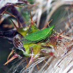 Europäischer Laternenträger (Dictyophara Europaea) (Homoptera Dictyopharidae)