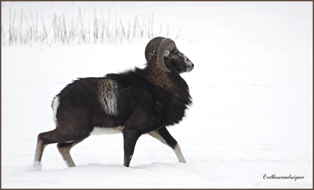 Europäischer Mufflon im Schnee