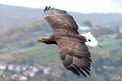 Europäischer Seeadler - Greifenwarte Guttenberg