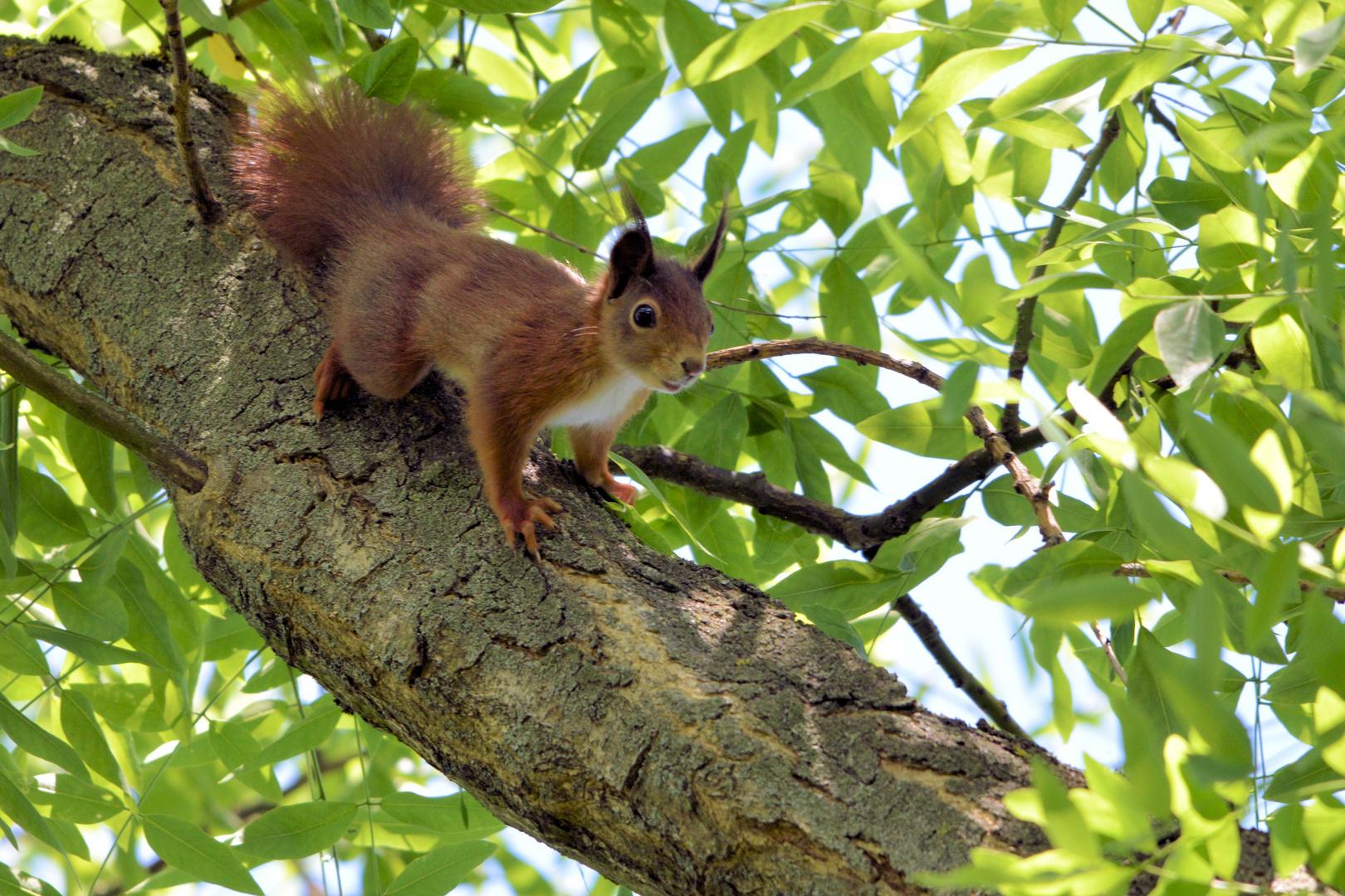 europäisches eichhörnchen foto  bild  tiere wildlife