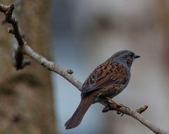 Europas Singvögel                 ..DSC_3033