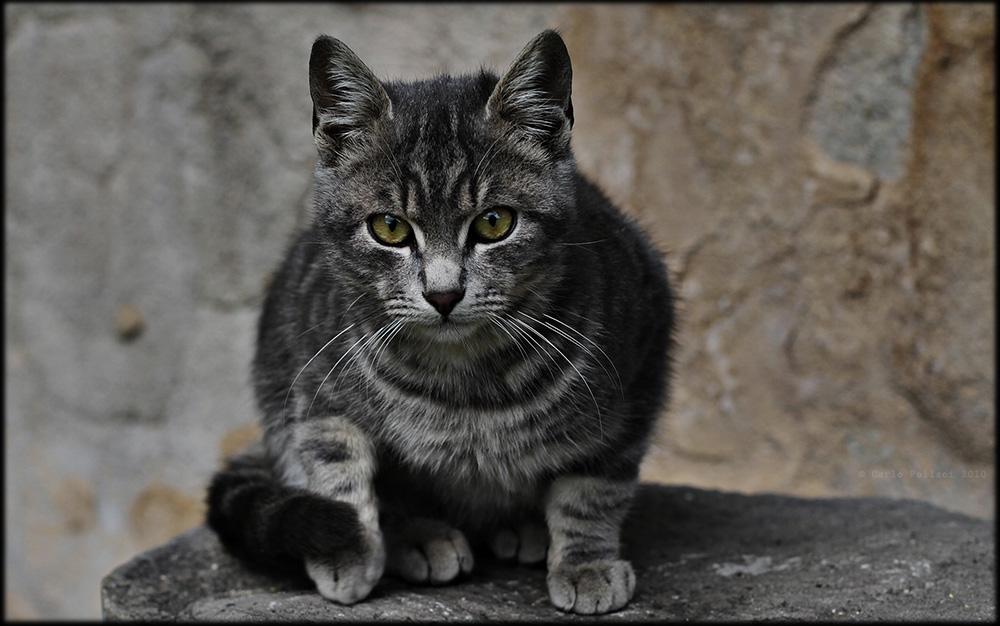 European tabby cat