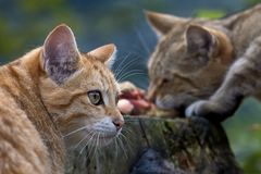 EUROPEAN WILDCAT (15)