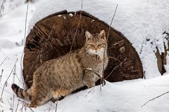 EUROPEAN WILDCAT (31)
