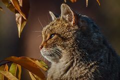 EUROPEAN WILDCAT (32)