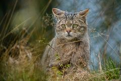EUROPEAN WILDCAT (33)