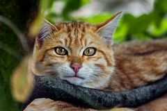EUROPEAN WILDCAT (6)