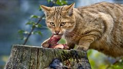 EUROPEAN WILDCAT (8)