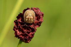 Eurygaster testudinaria