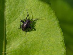 Euryopicoris nitidus