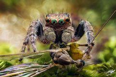 Evarcha falcata Männchen mit Beute