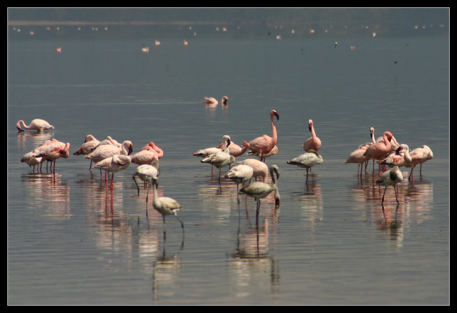 ... even more flamingoes ...