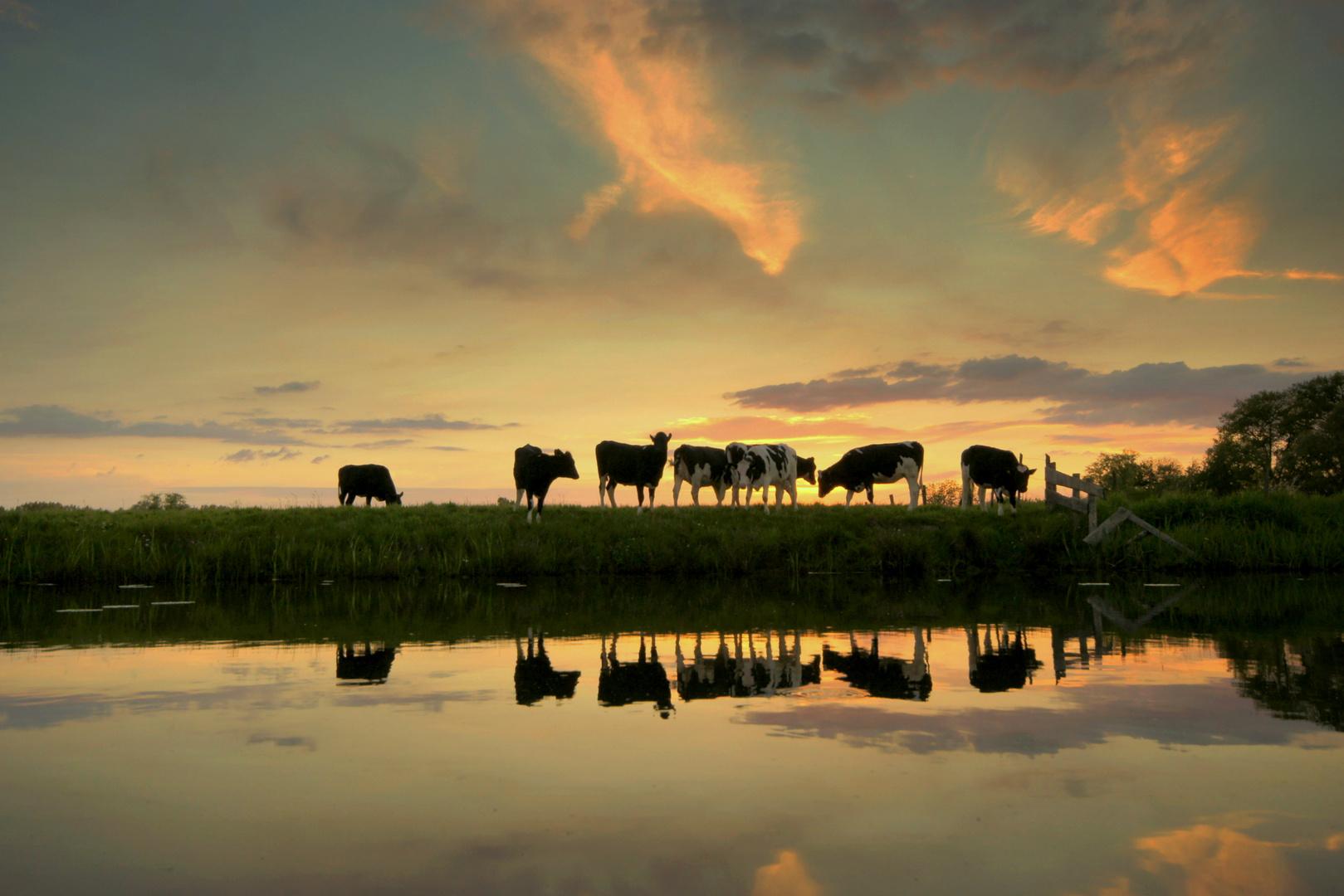 Evening light cows