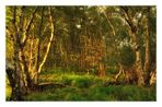 evening light in the birch forest