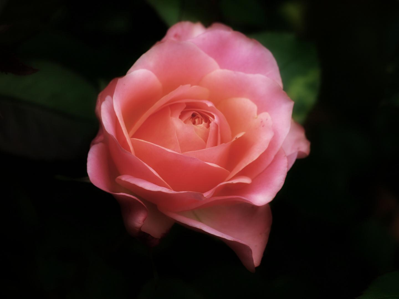 Evening Rose 1