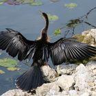 Everglades Wasservögel