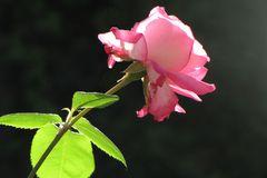 Evita's Rose