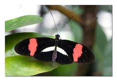 ex. Schmetterling