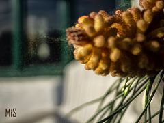 Exhalando el polen