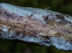 Exidiopsis effusa