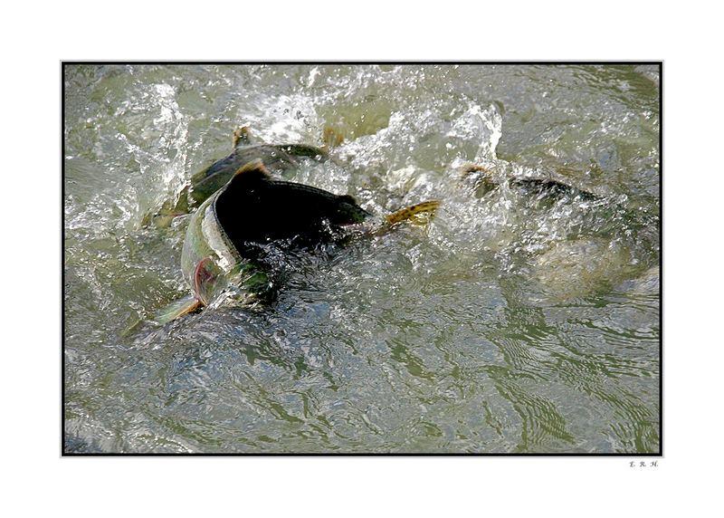 Existenzkampf der Lachse