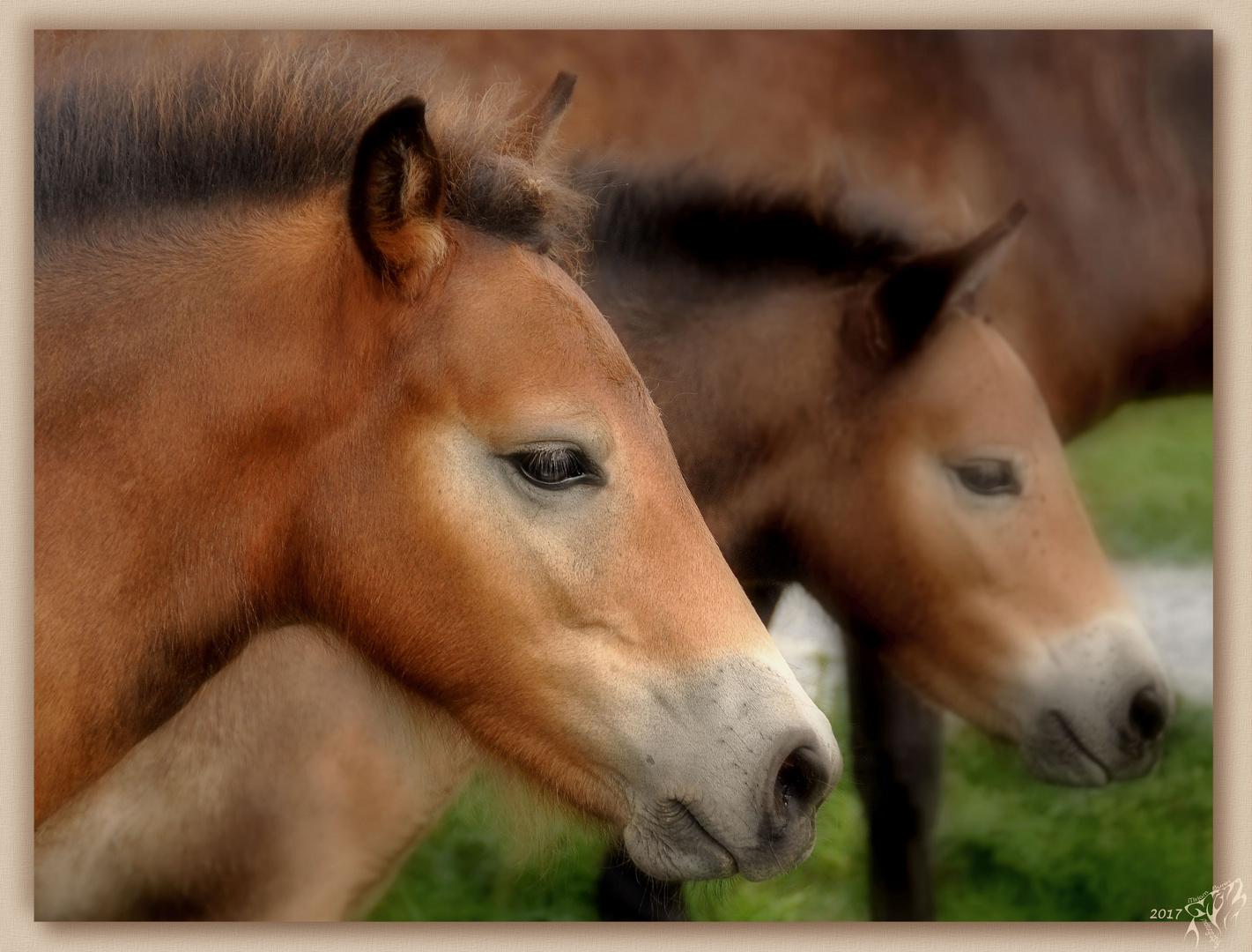 Exmoor ponies in the wild ..