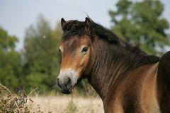 Exmoor-Pony-Hengst