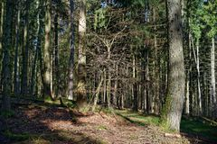 Exot im Nadelwald