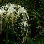 Exotic Beauty (54) : Beach spider lily